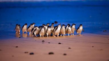 【送企鹅回家】墨尔本菲利普企鹅岛套票A(企鹅归巢+考拉中心+丘吉尔岛)