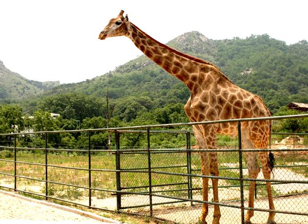 青岛野生动物园 青岛森林野生动物世界(黄岛开发区) 优惠低价促销