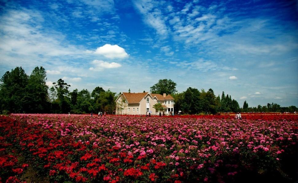 壁纸 成片种植 风景 花 植物 种植基地 桌面 970_596