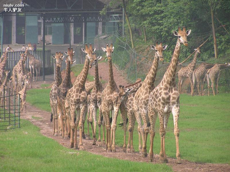重庆景区门票 重庆市内 重庆野生动物园4日