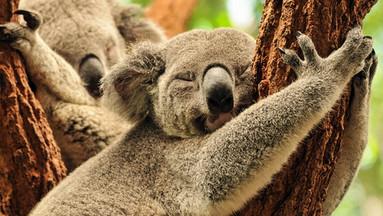 【全澳最大考拉保护区】布里斯班龙柏考拉保护区门票(可选考拉照相/午餐)
